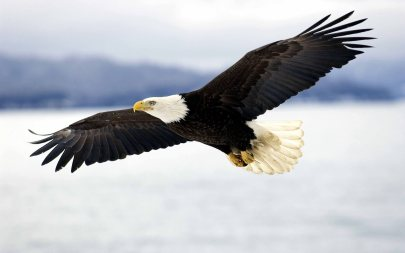 american-eagle-flying-wallpaper-3.jpg