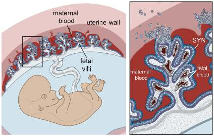 placental-structure